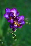 Beautiful purple freesia Royalty Free Stock Photos