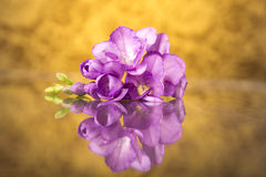 Beautiful purple freesia Stock Images