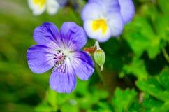 Beautiful purple Geranium wallichianum `Rozanne` in a spring season at a botanical garden. A Beautiful purple Geranium wallichianum `Rozanne` in a spring season stock images