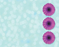 Beautiful purple Gerber flower blossom in circle isolated on light blue background Royalty Free Stock Photography