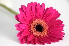 Close-up of Purple Gerbera flower against a white background. A beautiful purple gerbera bloom, close up photo. Gerbera African Daisy is a genus of ornamental royalty free stock images