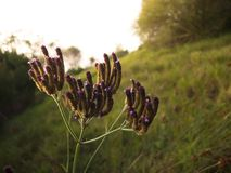 Beautiful Purple grass flowers in sunset lighting. stock photo