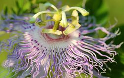 Beautiful Purple Green and White Wildflower Stock Photo