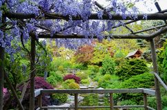 Wisteria framing Japanese garden Royalty Free Stock Images
