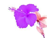 Beautiful purple Hibiscus flower Stock Photos
