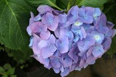 Beautiful purple hortensia in the foreground royalty free stock photo