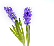 Beautiful hyacinth isolated on white Stock Image