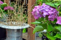 Beautiful purple hydrangea flowers Stock Photography