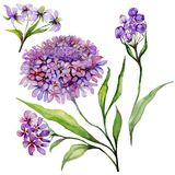 Beautiful purple iberis flower on a stem. Floral set candytuft flowers, leaves, buds. Isolated on white background. Watercolor painting. Hand painted Royalty Free Stock Images