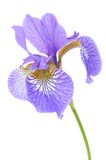 Beautiful Purple Iris Stock Image