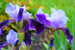 Beautiful purple iris. Beautiful purple iris in the flower bed in the garden stock images