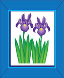 Beautiful Purple Iris Flowers in a Blue Frame Stock Images