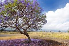 Beautiful purple jacaranda trees flowering along the roads of Maui, Hawaii, USA royalty free stock photo