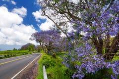 Beautiful purple jacaranda trees flowering along the roads of Maui, Hawaii, USA. Beautiful purple jacaranda trees flowering along the roads of Maui island Stock Image