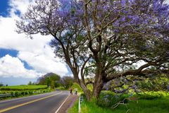 Beautiful purple jacaranda trees flowering along the roads of Maui, Hawaii, USA. Beautiful purple jacaranda trees flowering along the roads of Maui island Royalty Free Stock Image
