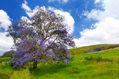 Beautiful purple jacaranda trees flowering along the roads of Maui island, Hawaii Royalty Free Stock Photos