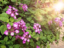 Beautiful purple Lantana Camara flower in the garden royalty free stock images