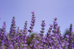 Lavender flowers against blue sky stock photo