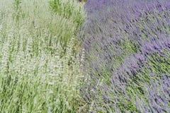 Lavender Festival at 123 Farm. Beautiful purple lavender blossom of Lavender Festival of 123 Farm at San Bernardino, Los Angeles County, United States Royalty Free Stock Images