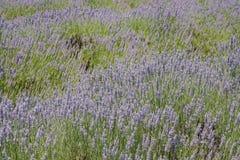 Lavender Festival at 123 Farm. Beautiful purple lavender blossom of Lavender Festival of 123 Farm at San Bernardino, Los Angeles County, United States Stock Photos