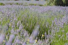 Lavender Festival at 123 Farm Stock Photos