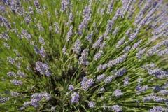 Lavender Festival at 123 Farm. Beautiful purple lavender blossom of Lavender Festival of 123 Farm at San Bernardino, Los Angeles County, United States Stock Photo