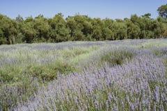 Lavender Festival at 123 Farm. Beautiful purple lavender blossom of Lavender Festival of 123 Farm at San Bernardino, Los Angeles County, United States Stock Photography