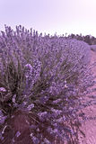 Beautiful purple lavender bush. Covered in dense colourful flowers in an agricultural lavender field to be harvested for use in the perfumery industry Stock Photo