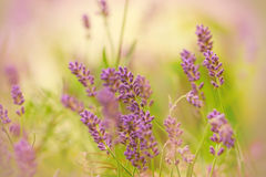 Beautiful purple lavender Royalty Free Stock Photo