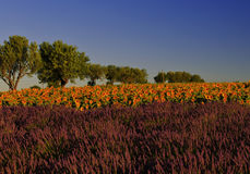 Beautiful Purple Lavender Field and yellow sunflower fields Royalty Free Stock Photography