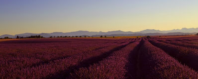 Beautiful Purple Lavender Field and yellow sunflower fields. Stretching all the way to distant mountains on the Plateau De Valensole, France stock photo