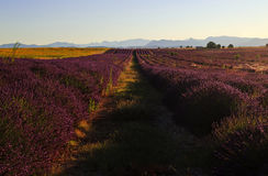 Beautiful Purple Lavender Field and yellow sunflower fields. Stretching all the way to distant mountains on the Plateau De Valensole, France royalty free stock photos