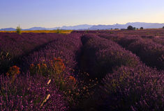 Beautiful Purple Lavender Field and yellow sunflower fields. Stretching all the way to distant mountains on the Plateau De Valensole, France royalty free stock photography