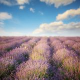 Summer lavender field Royalty Free Stock Photos