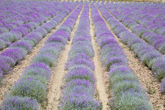 Beautiful purple lavender flowers field, perspective. Beautiful purple lavender flowers cultivation field, perspective Stock Photos