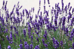 Beautiful purple lavender flowers in the garden. Photo of beautiful purple lavender flowers in the garden stock photography