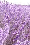 Beautiful purple lavender flowers. Growing on a commercial farm in Tasmania where they are harvested for the perfumery industry Royalty Free Stock Images