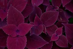 Beautiful purple leaves plant Royalty Free Stock Image