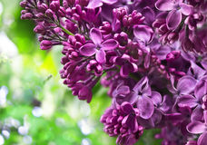 Beautiful purple lilac branch Stock Images