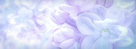 Beautiful purple lilac flowers blossom branch panorama background. Soft focus. Greeting gift card template. Pastel toned image. Nature abstract. Copy space royalty free stock photography