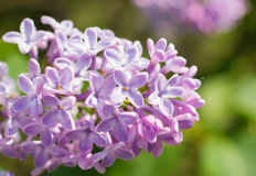 Beautiful purple lilac flowers blossom. In the forest Stock Photos