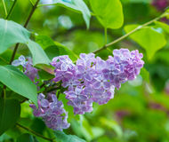 Beautiful purple lilac flowers blossom. In the forest Royalty Free Stock Images