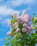 Beautiful purple lilac flowers blossom. Over blue sky Royalty Free Stock Photography