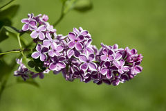 Beautiful purple lilac flowers outdoors Royalty Free Stock Image