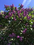 Beautiful purple lilac in the garden against the blue sky with clouds stock photo