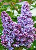 Beautiful Purple Lilacs Royalty Free Stock Photo