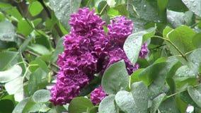 Beautiful purple lilacs in the rain in Oregon stock video