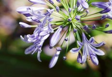 Beautiful purple Lily of the Nile flower, Kenya. Lily of the Nile is strikingly beautiful flower Stock Images
