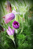 Beautiful purple little furry pasque-flower. Pulsatilla grandis . Blooming spring flowers. Royalty Free Stock Image