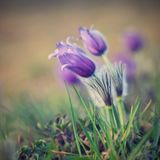 Beautiful purple little furry pasque-flower. (Pulsatilla grandis) Blooming on spring meadow at the sunset. Stock Photography